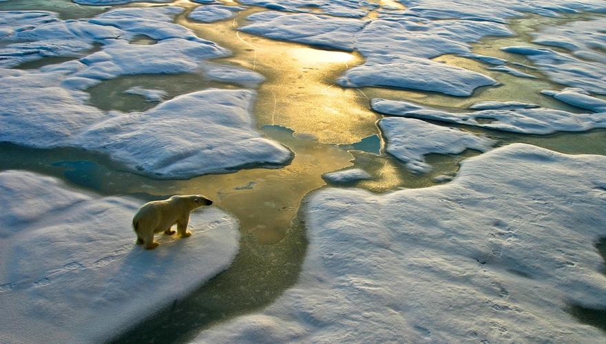 polar bear in climate change